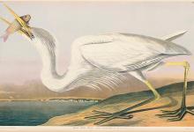 Audubon\'s White Heron